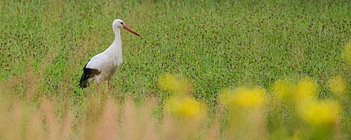 Wildlife: Weißstorch am frühen Morgen