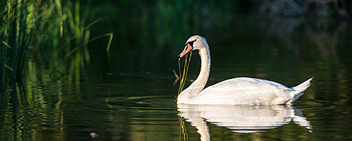 Wildlife: Schwan in der Abendsonne