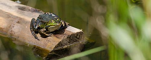 Wildlife: Frosch auf Seefahrt