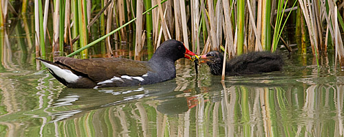 Wildlife: Teichralle füttert Junges