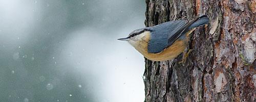 Wildlife: Kleiber bei Schneetreiben