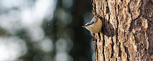 Wildlife: Kleiber im Winter