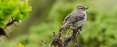 Wildlife: Fink auf den Azoren